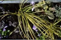 Carex. Ajuga. Chives. Thyme. Pansies.